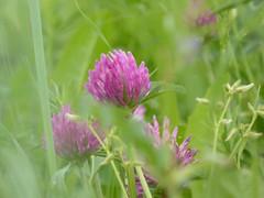 il y avait du vent (fotomie2009) Tags: fiore flower flora pink wild wildflower nature spontaneous spontaneo glover trifoglio wildflowers