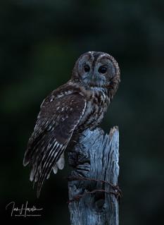 Tawny owl at dusk