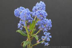 Ceanothus 'Concha' (selezione orticola). (FlosPassionis) Tags: ceanothus concha