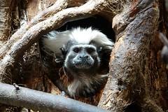 Who's there? (Carandoom) Tags: animal wood whos there ape singe white infinitexposure
