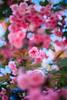 ILCE-7M2-09724-20180514-1839 // Vivitar VMC Auto 55mm 1:1.4 (Tomioka) (Otattemita) Tags: 55mmf14 florafauna vivitarcosina vivitartomioka vivitarvmc vivitarvmcauto55mmf14 fauna flora flower nature plant wildlife vivitarvmcauto55mm114tomioka sonyilce7m2 ilce7m2 sony cnaturalbnatural 55mm