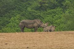 Burgers' Zoo - 15 (coopertje) Tags: arnhem thenetherlands nederland zoo dierentuin koninklijke royal burgerszoo animals rhino rhinoceros neushoorn