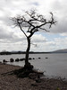 The Lonely Tree at Loch Lomond, SCotland (Sandra L Ekins) Tags: theloneytree lochlomond scotland trossachspark water mountainside millarochybay