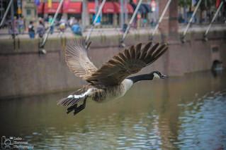 Canadian Goose flying over the hofvijver.