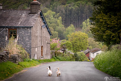 9th May 2018 (Rob Sutherland) Tags: ducks walk walking pennybridge greenodd farm road track village lakes lakeland lakedistrict birds avian poultry farming traditional scene rural life cumbria cumbrian england english britain british uk