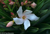 "New on our garden terrace, ""Oleander"" (Fred / Canon 70D) Tags: oleander canon canon70d canoneos garden plant eefde closeup ef100mmf28lmacroisusm"