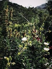 Sormiou Floral mai 2018 -  11 (akunamatata) Tags: sormiou floral balade mai 2018 parc des calanques park provence fleurs flowers sentier sciatique