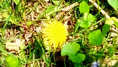 First Dandelions! 365/206 (Maenette1) Tags: dandelion leaves yellow green spring menominee uppermichigan flicker365 allthingsmichigan absolutemichigan project365 projectmichigan