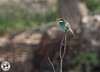 Bee-Eater - Meropidae (Lauren Tucker Photography) Tags: beeeater bird greece nature rhodes wildlife meropidae europe kiotari lindos old town holiday trip summer spring may 2018 colour weather sun cloud canon 7d slr markii camera photographer photography photograph photo image pic picture copyright allrightsreserved ©laurentuckerphotography beach sea seaside visit