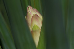 DSC_9959 Yucca Gloriosa 'Variegata' (PeaTJay) Tags: nikond750 sigma reading lowerearley berkshire macro micro closeups gardens indoors nature flora fauna plants flowers yucca