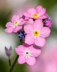 Never forget (LuckyMeyer) Tags: garden flower fleur makro pink rosa forget me vergissmeinnicht blume blüte