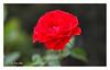 SHF_6709_Rose (Tuan Râu) Tags: 1dmarkiii 14mm 100mm 1d 135mm 1dx 14 2470mm 2018 50mm 70200mm canon canoneos1dmarkiii canoneos1dx flowers hoa rose hoahồng dof bokeh tuanrau tuan tuấnrâu2018 râu