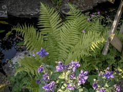 Pondside fern. (madlily58) Tags: fern water pond aqualegia grannybonnet columbine summer
