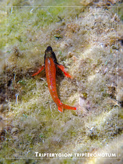 Tripterygion tripteronotum (Terzacentro) Tags: chicco caroli francersco genova zena genoa lido albaro corso italia mar ligure mediterraneo sea mediterranean tripterygion tripteronotum peperoncino rosso