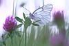 Mauve..... (aracobis) Tags: papillon sigma150 canon7d macroetproxi nature mai2018