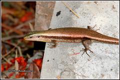 7889 - skink (chandrasekaran a 50 lakhs views Thanks to all.) Tags: skink reptiles nature india wayanad kerala canoneos80d tamronef28300mm kuruvaisland