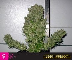 Auto-Assassin-02 (Watcher1999) Tags: auto assassin cannabis seeds marijuana thc strains medical growing plant smoking weed legalize ganja reggae it