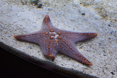 Starfish (Adventurer Dustin Holmes) Tags: 2018 wondersofwildlife starfish aquarium aquatic saltwater