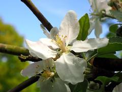 Flowers of an apple tree. (Bienenwabe) Tags: blüte flower macro flowermacro plant malusdomestica malus rosaceae