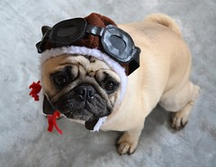 Happy Birthday Boo Lefou! (DaPuglet) Tags: pug pugs dog dogs pet pets animal animals aviator pilot hat cute funny birthday clydesfriends coth coth5 alittlebeauty fantasticnature