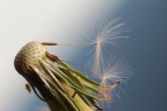 Rest einer Pusteblume (st.ri1) Tags: pflanze löwenzahn pusteblume wiese wald canon tamron90mm verwehen dandelion