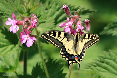 Swallowtail Butterfly (Karen Roe) Tags: strumpshaw fen strumpshawfen naturereserve nature reserve norfolk county england britain uk unitedkingdom greatbritain gb canoneos760d canon 760d 150600mm sigma zoom wildlife hide may 2018 peaceful quiet tranquil outside spring weather season camera photography photograph photographer picture image snap shot photo karenroe female flickr visit visitor rspb royal society protection birds member