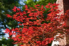 Japanese Bloodwood! (ineedathis, Everyday I get up, it's a great day!) Tags: japanese maple bloodgood tree chimney nature garden spring leaf nikond750 blue sky atropurpureum acerpalmatum deciduous foliage bokeh youngtree