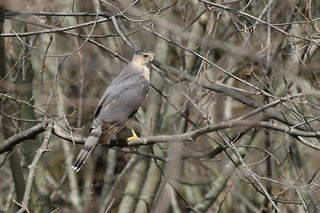 Cooper's Hawk - Accipiter cooperii - Hamilton County, Ohio, USA - April 3, 2018