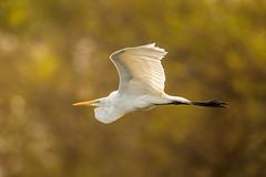 Great Egret (wn_j) Tags: birds birding birdsinflight wildlife wildanimals wildlifephotography nature naturephotography nationalwildliferefuge heinzwildlife heinz heinznwr johnheinz johnheinznwr canon canon500mm canon1dxii egret greategret