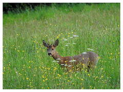 Capreolus capreolus ♂ (M.L Photographie) Tags: chevreuil brocard roe deer capreolus animal wildlife wildlifephoto wildlifephotography france normandie normandy p900 coolpix nikon nature naturelovers