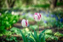 tulip pair (kderricotte) Tags: helios helios44m458mmf2 bokeh depthoffield sony sonya7ii ilce7m2 flower tulip garden meadowlarkbotanicalgardens plant