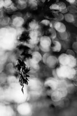 The Last (belleshaw) Tags: blackandwhite sandiegobotanicgarden nature tree branch leaves flowers hanging garden detail abstract bokeh