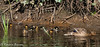 eight in total! (RCB4J) Tags: anasplatyrhynchos garscubeestate nature rcb4j ronniebarron scotland sigma150500mmf563dgoshsm sonyilca77m2 sunshine universityofglasgow ducklings mallard river riverkelvin water wildbird wildlife