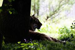 lazy dayz (joannekerry) Tags: tiger amurtiger siberiantiger cats bigcats wildlife yorkshirewildlifepark canon nature