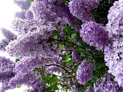 Lilac Time. (jenichesney57) Tags: lilac spring mauve green sky light sun panasoniclumix street tree malvern