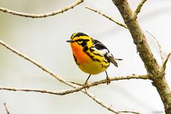 blackburnian warbler (myflickacct13) Tags: warbler bird yellow flight fly tree migration migrate blackburnian