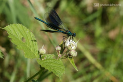 beautiful demoiselle 2 (photos4dreams) Tags: gersprenz münster hessen germany naturschutz nabu naturschutzgebiet photos4dreams p4d photos4dreamz nature river bach flus natur pur susannahvvergau