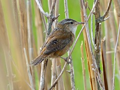 Marsh Wren (Cistothorus palustris) (WRFred) Tags: bird wildlife nature delaware bombayhook wren