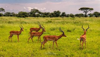 Impalas group