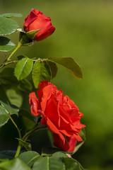 Flowers. (ost_jean) Tags: roses france saverne alsace nikon d5300 tamron sp 90mm f28 di vc usd macro 11 f004n ostjean fleurs bloemen rozen red