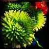 Sunshine boom. #Takoma #dc #dclife #washingtondc #iphone #iPhonemacro #macro  #flower #flowersofinstagram (Kindle Girl) Tags: iphone takoma dc dclife washingtondc iphonemacro macro flower flowersofinstagram