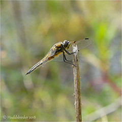 Four Spotted Chaser (Huddsbirder) Tags: huddsbirder a6500 fe70300 sony north cave wetlands four spotted chaser dragonfly