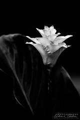 Élégante Calathée safranée (Olivier Galian Photography) Tags: art bw black blackandwhite blanc brésil calathea fine fineart fleur flore macro noir noiretblanc photography plante proxy white crocata safrané