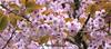 Spring blossom (msscoventry) Tags: cherry spring pink batsford arboretum
