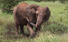 Mud Shower Fun (AnyMotion) Tags: africanelephant afrikanischerelefant loxodontaafricana elephants elefanten mud schlamm shower dusche skincare hautpflege 2018 anymotion tarangirenationalpark tanzania tansania africa afrika travel reisen animal animals tiere nature natur wildlife 7d2 canoneos7dmarkii ngc npc