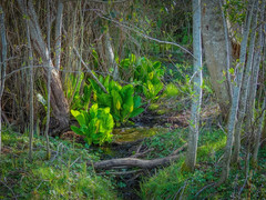 Colors of Spring: Skunk Cabbage (Colormaniac too - Many thanks for your visits!) Tags: skunkcabbage symplocarpusfoetida spring woodland nature nativeplant wildflower wetland bog april sequim colorful digitalpainting olympicpeninsula washingtonstate pacificnorthwest topazstudio netartll