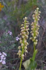 Aceras_antropophorum-0036 (Toni Lluch) Tags: sonya7ii pentaxmmacro100mmf4 flower orquidea