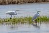 Great egrets (mayekarulhas) Tags: smyrna delaware unitedstates us egret bombay horn bird birds avian canon canon7dll wildlife wild
