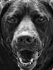 In Her Eyes (BigCam2013) Tags: animal bw bigcam2013 blackandwhite dog dogdays doglovers dogwalking chocolatelabrador