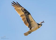 Ospreys of Sandy Hook (Kumar Manoj Pixels) Tags: osprey sandyhook nj newjersey